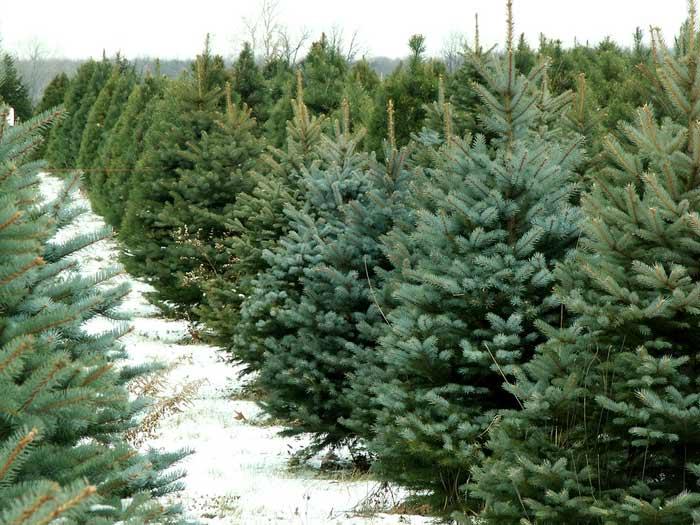 Wann Weihnachtsbaum Aufstellen.Weihnachtsbaum Richtig Aufstellen Wohn Journal